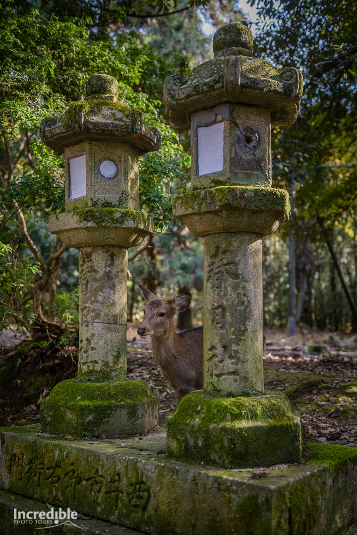Deer and lanterns at Kasuga Taisha (春日大社)